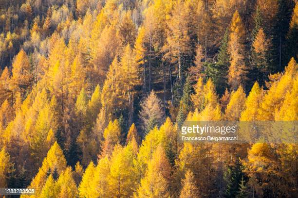 magic athmosphere in the forest of larch with autumn colors - italia stock-fotos und bilder