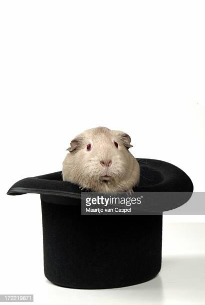 magische meerschweinchen - zauberer darstellender künstler stock-fotos und bilder
