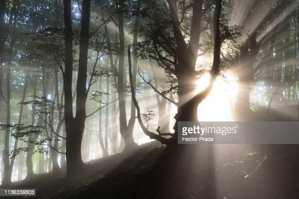 magic moment of light in the forest - hector vivas fotografías e imágenes de stock
