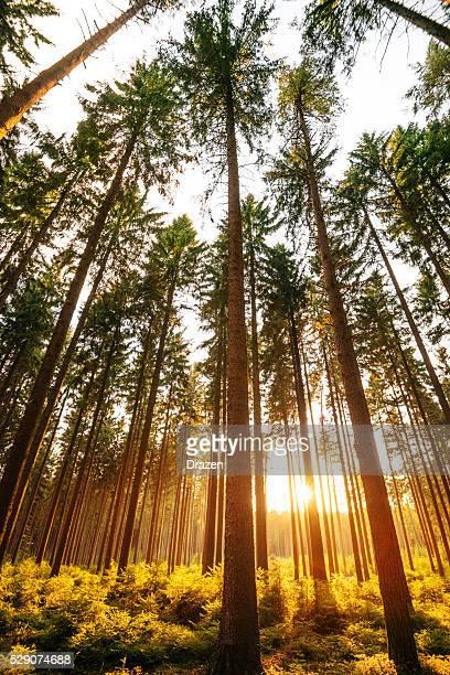 マジカ松の森を、夏の夕日は、自然光が差し込む