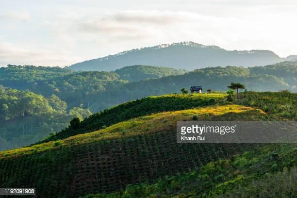 magic sunlight and beauty of the coffee farm and coffee crop plant at sunrise, this is mocha and arabica coffee plant kind - café colheita imagens e fotografias de stock