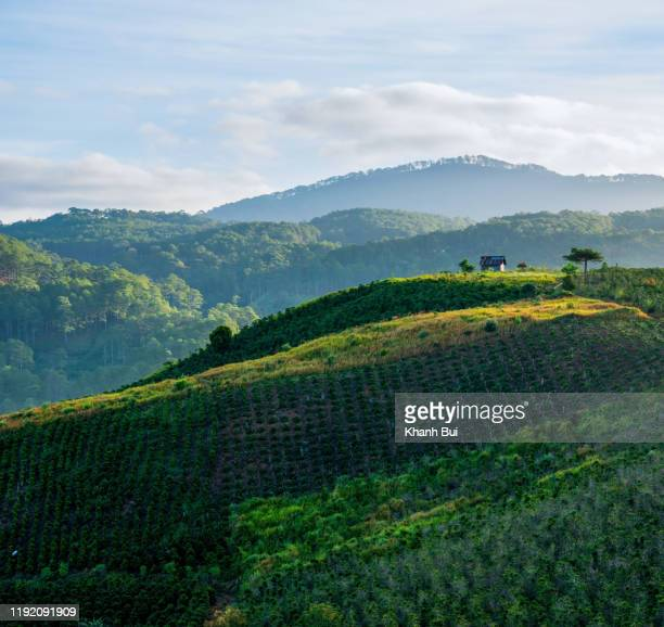 magic sunlight and beauty of the coffee farm and coffee crop plant at sunrise, this is mocha and arabica coffee plant kind - プランテーション ストックフォトと画像