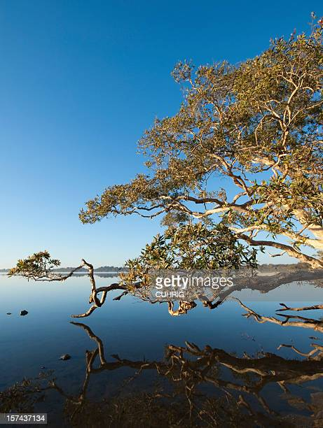 Magic Tree at Lake Weyba Sunshine Coast