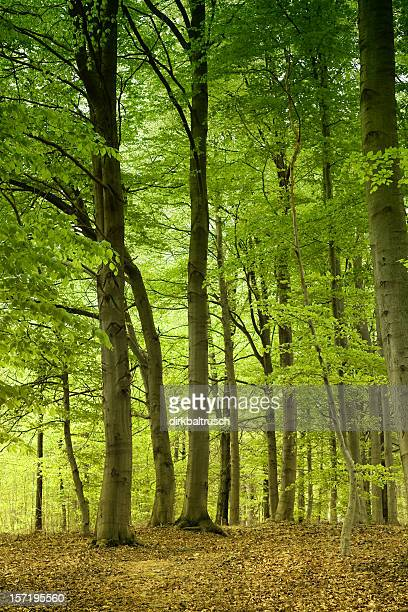 magical and bright beech forest