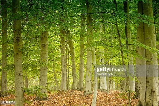 magical beech forest III