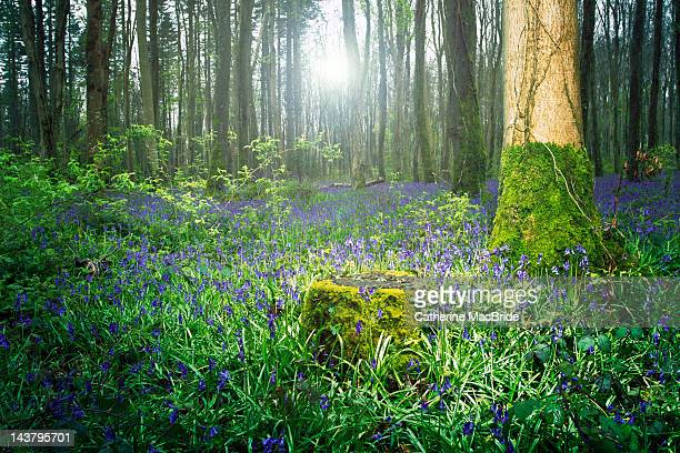 magical bluebell forest - kildare stock photos and pictures