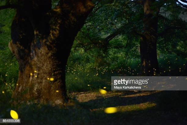 magical fireflies at night in forest, zagoria / epirus, greece - glowworm stock pictures, royalty-free photos & images