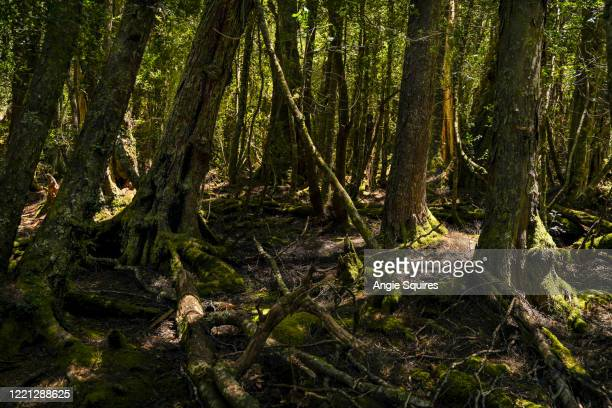 magical forest on the dove lake trail at cradle mountain - extreme terrain stock pictures, royalty-free photos & images