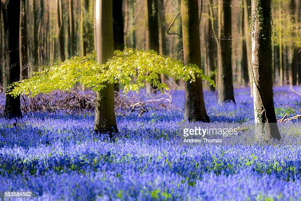 magical forest - bluebell wood stock pictures, royalty-free photos & images
