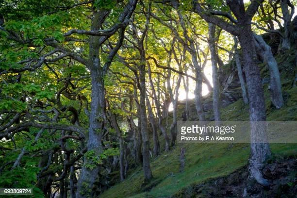 Magical Oak Woodland in Snowdonia, Wales, UK