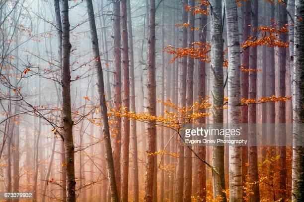 Magical Orange Wood