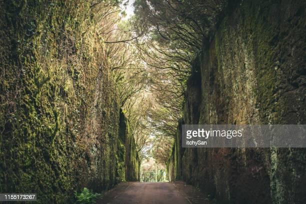 camino mágico rodeado de árboles - isla de tenerife fotografías e imágenes de stock