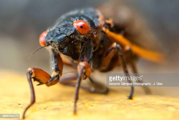 magicicada - 17-year periodical cicada - cicala foto e immagini stock