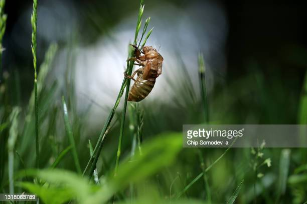 Magicicada periodical cicada shell is left clinging to a blade of grass after molting on May 14, 2021 in Takoma Park, Maryland. Once soil...