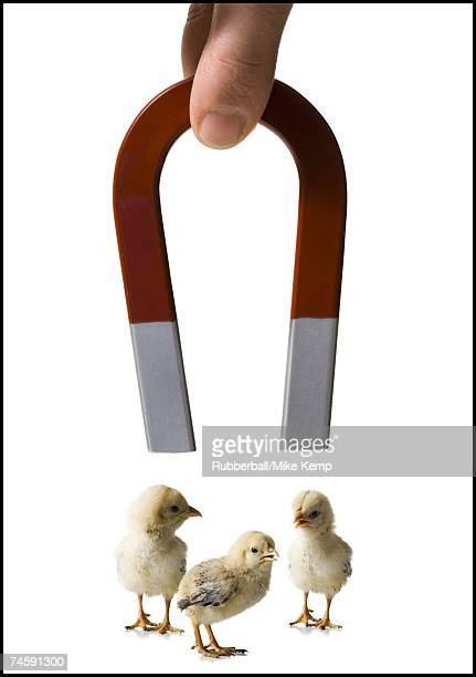magnet with three chicks - horseshoe magnet stock pictures, royalty-free photos & images