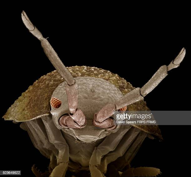 magnification x 20 of woodlouse - potato bug stock pictures, royalty-free photos & images