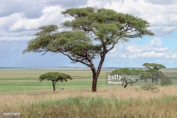 magnificent african landscaped view - acacia tree stock photos and pictures