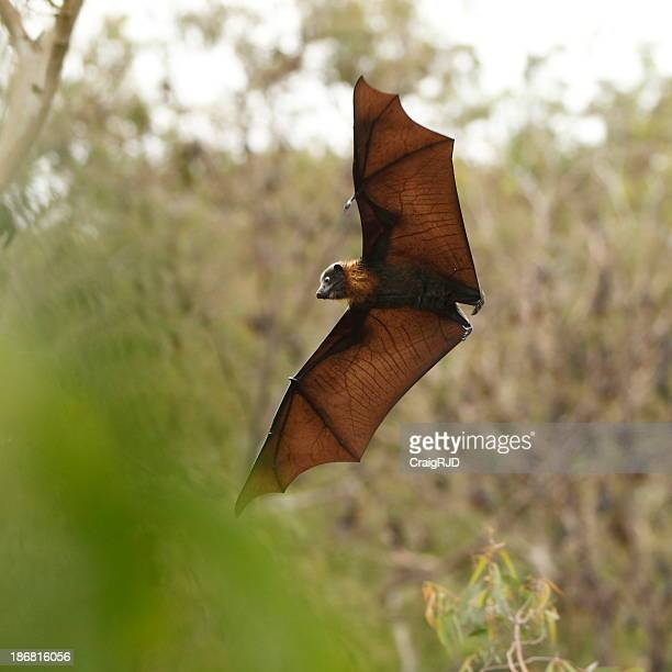 Magnificent Bat