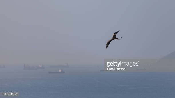 magnificent frigatebird flying over the ocean - alma danison imagens e fotografias de stock