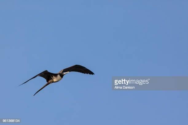 magnificent frigatebird - alma danison stock-fotos und bilder