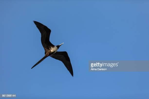 magnificent frigatebird - alma danison - fotografias e filmes do acervo