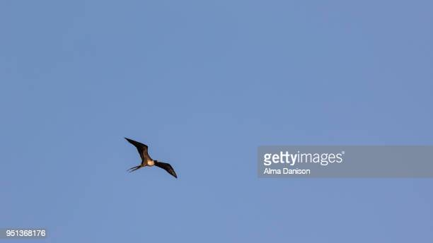 magnificent frigatebird - alma danison stock photos and pictures
