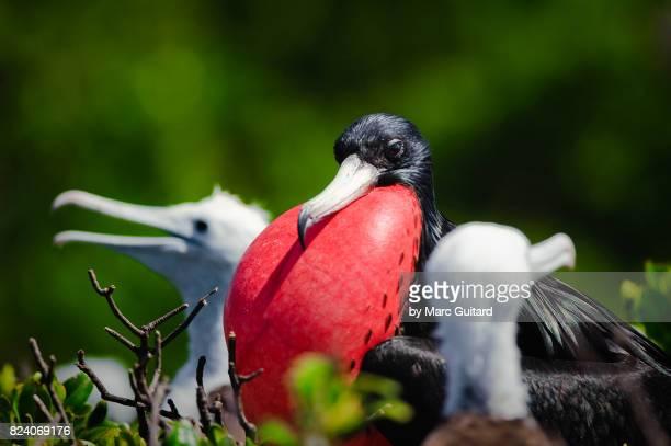 Magnificent Frigatebirds (Fregata magnificens), Codrington Lagoon, Barbuda, Antigua & Barbuda