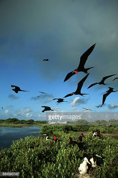 Magnificent Frigatebirds Fly and Nest at Barbuda Island