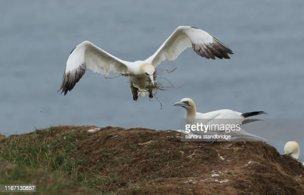 a magnificent gannet, morus bassanus, flying in to the edge of the cliff with nesting material in its beak. - jan van gent stockfoto's en -beelden