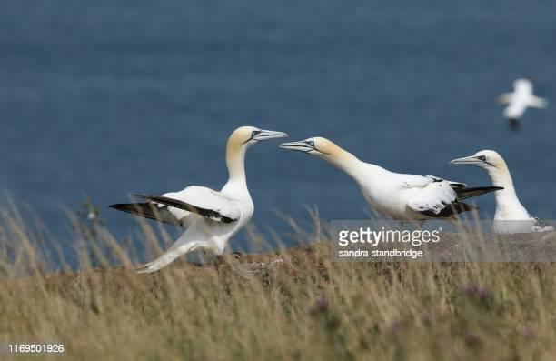 magnificent gannet (morus bassanus) standing on the edge of a cliff in the uk. - jan van gent stockfoto's en -beelden