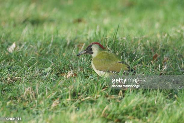 a magnificent green woodpecker, picus viridis, searching for insects to eat in the grass in a field. - st. albans stock pictures, royalty-free photos & images