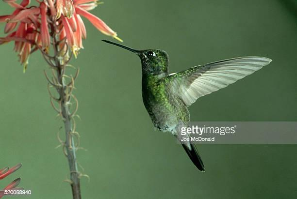 Magnificent Hummingbird Hovering Near Flower
