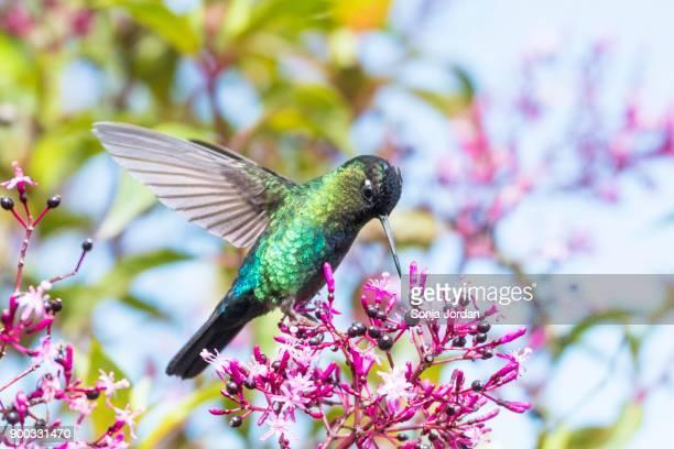 Magnificent Hummingbird (Eugenes fulgens) on purple blossom, Costa Rica