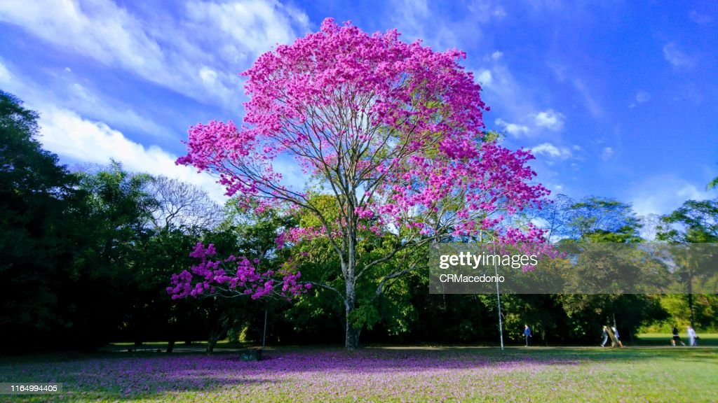 A magnificent pink ipe under beautiful blue sky day. : Stock Photo