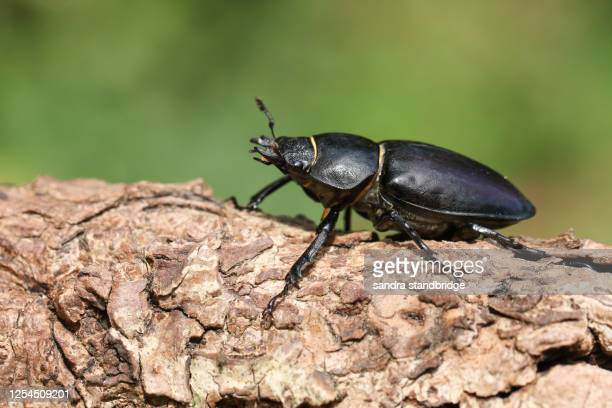 a magnificent rare female stag beetle, lucanus cervus, walking over a dead log in woodland. - plain background stock pictures, royalty-free photos & images