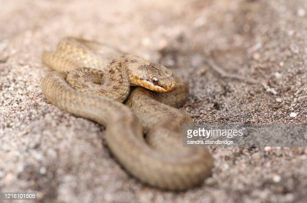 a magnificent rare smooth snake, coronella austriaca, coiled up in heathland in the uk. - snake stock pictures, royalty-free photos & images