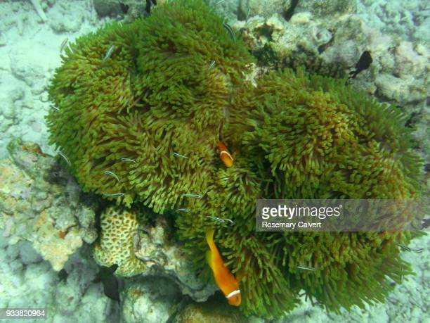 Magnificent sea anemone and Maldives anemone fish.