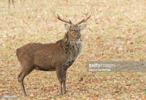 60 Top Sika Deer Pictures, Photos, & Images - Getty Images