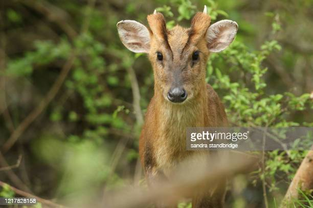 a magnificent stag muntjac deer, muntiacus reevesi, feeding at the edge of woodland in the uk. - woodland stock pictures, royalty-free photos & images