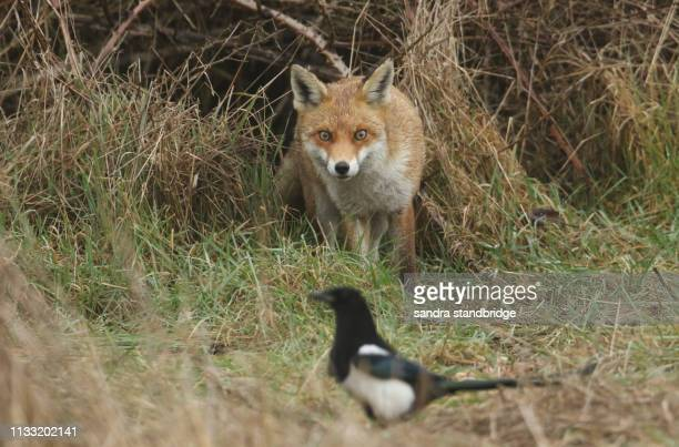 a magnificent wild red fox (vulpes vulpes) coming out from a bramble bush and is stalking a magpie bird. - acechar fotografías e imágenes de stock