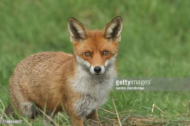 a magnificent wild red fox (vulpes vulpes) hunting for food to eat in the long grass. - red fox stock pictures, royalty-free photos & images