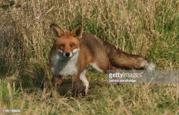 39 104 Red Fox Photos And Premium High Res Pictures Getty Images