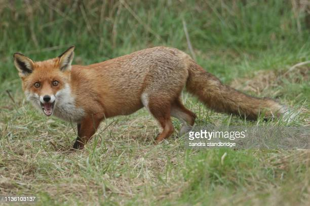 a magnificent wild red fox (vulpes vulpes) searching for food to eat at the edge of shrubland. - hunting stock pictures, royalty-free photos & images