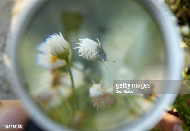 A magnifying glass held by a worker from NABU Germany's biggest NGO for conservation and the study of nature reveals a shield bug during an...