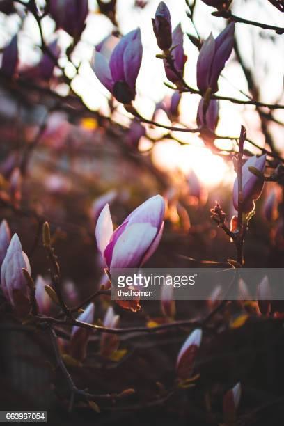 Magnolia Blossom At Sunset