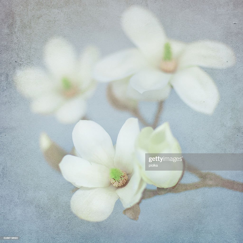 Magnolia Blossom on a textured paper background : Stock Photo