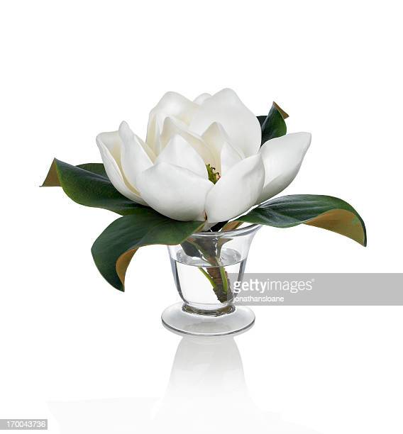 magnolia blossom on a white background - magnolia stock photos and pictures