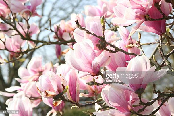 magnolia blossom - magnolia stock photos and pictures