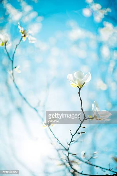 magnolia blossom - blossom stock pictures, royalty-free photos & images