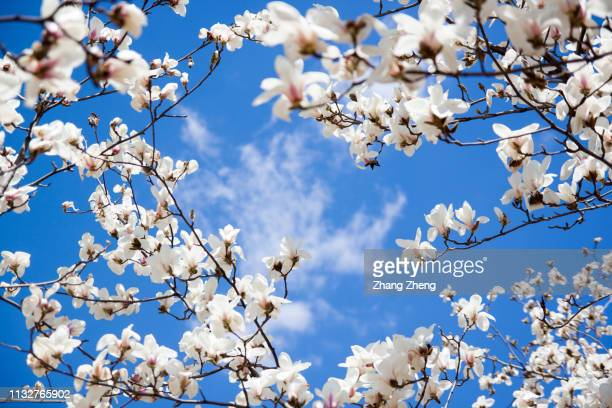 magnolia blossoms against clear blue sky - apple blossom tree stock pictures, royalty-free photos & images